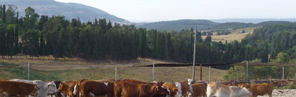 Cows, Shavuot, Ein Hashofet