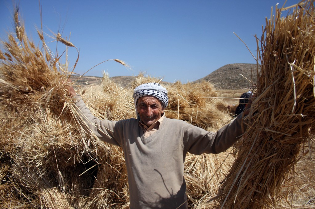 A Palestinian farmer harvests wheat in the West Bank village of Abu Falah, north of Ramallah. Photo: Issam Rimawi / Flash90