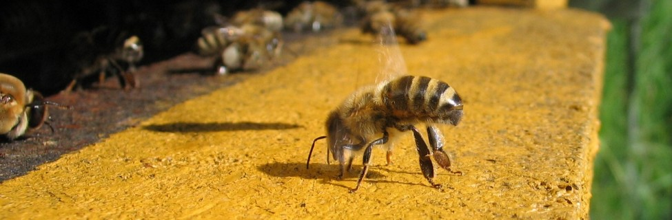 An Israeli company is researching how to prevent colony collapse disorder, which has lead to the disappearance of 30 percent of all hive populations each year. Photo: Waugsberg / Wikimedia