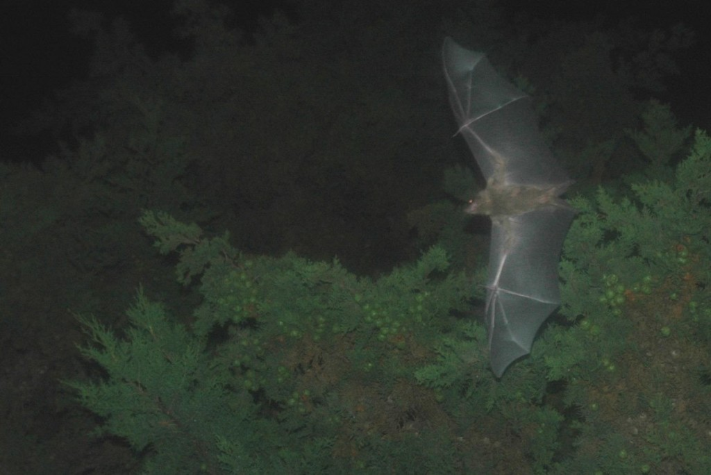 A bat takes flight in Israel. Photo: fredshome / flickr