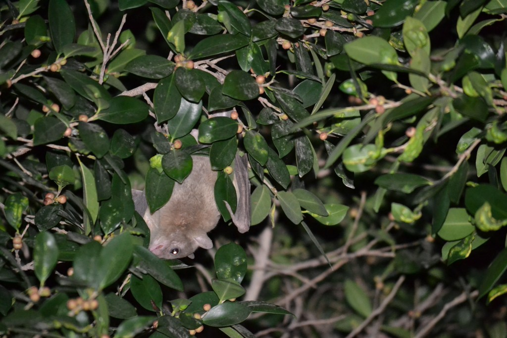A bat eats fruit from a tree on Allenby Street in Tel Aviv. Photo: aaron657 / flickr