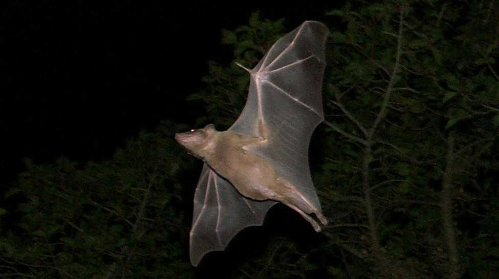 A bat flies along Rothschild Boulevard in Tel Aviv. Photo: Zoharby / Wikimedia