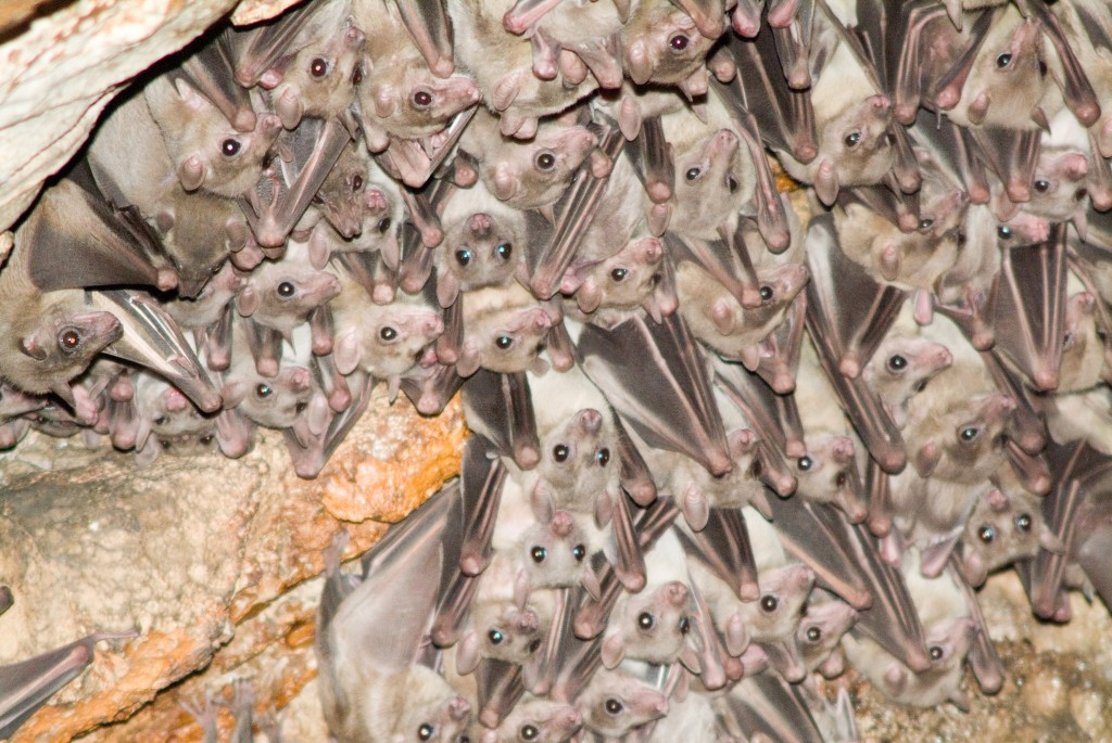 Bats in a cave in Beit Shemesh. Photo: Jorge Novominsky / Flash90