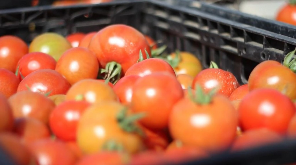 Tomatoes grown with seeds from the Israeli agricultural firm Hazera. Photo: Hazera Seeds Ltd. / YouTube