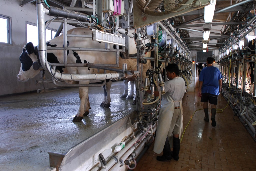 Automated milking at the Klein family dairy farm in Beerotaim, central Israel. Photo: Gili Yaari / Flash90