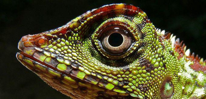 FeaturedImage_2017-10-25_WikiCommons_Borneo_Forest_Dragon_(Gonocephalus_bornensis)_(8411470994)