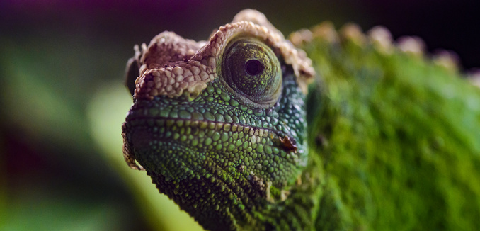 FeaturedImage_2018-02-14_Flickr_Chameleon_25331693727_b68fa5d3f6_k