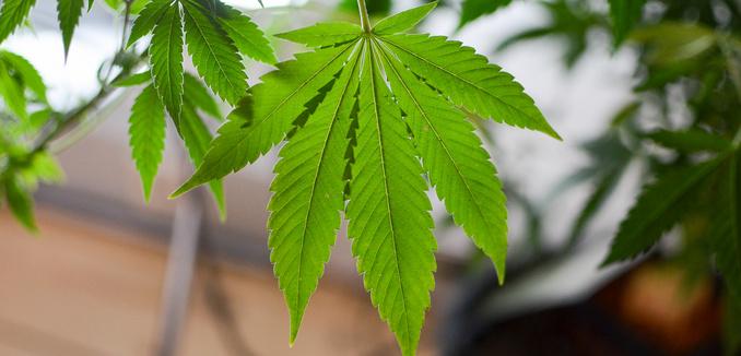 FeaturedImage_2019-01-24_Flikcr_Cannabis_16041577621_7eb25d0564_k