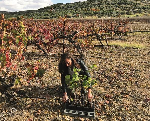 PostImage_Wine_on_the_Vine_planting_grapevines